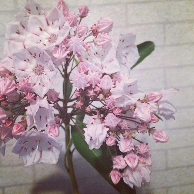 カルミアの花 #花 #citysitelink
