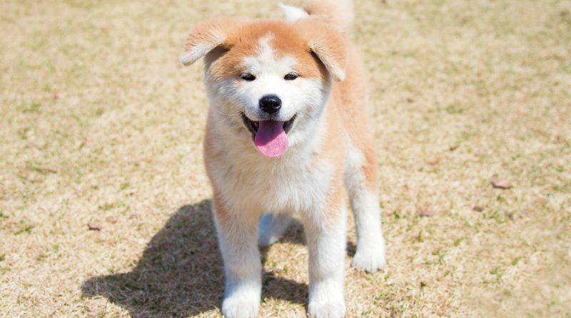 """あいにいける""""秋田犬のの"""" 公式サイトオープン"""
