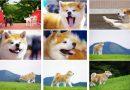 大館市が年賀状やSNS等で使用できる秋田犬の画像を公開!