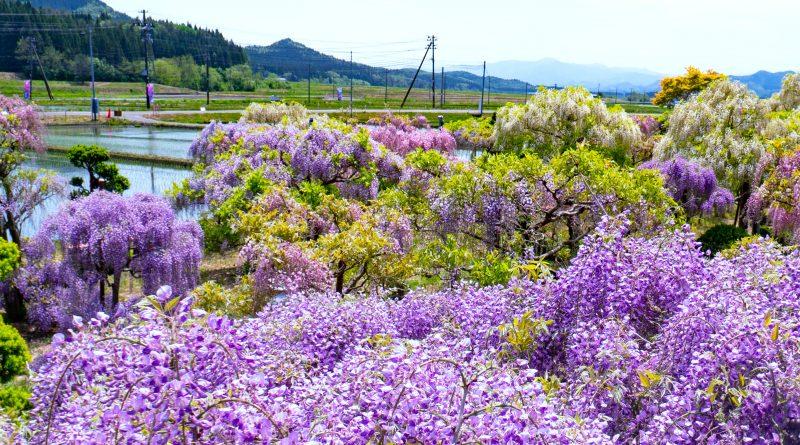 十ノ瀬 藤の郷 開花状況2019年5月20日